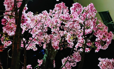 陽光桜.JPG